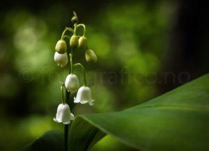 vår liljekonvall markblomster blomster natur