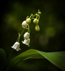vår markblomster liljekonvall natur blomster