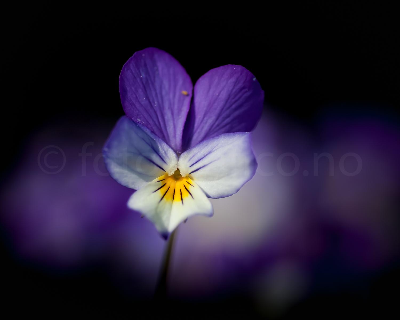 nattoglysedag markblomst blomster